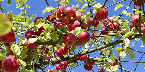 organic apples in a tree